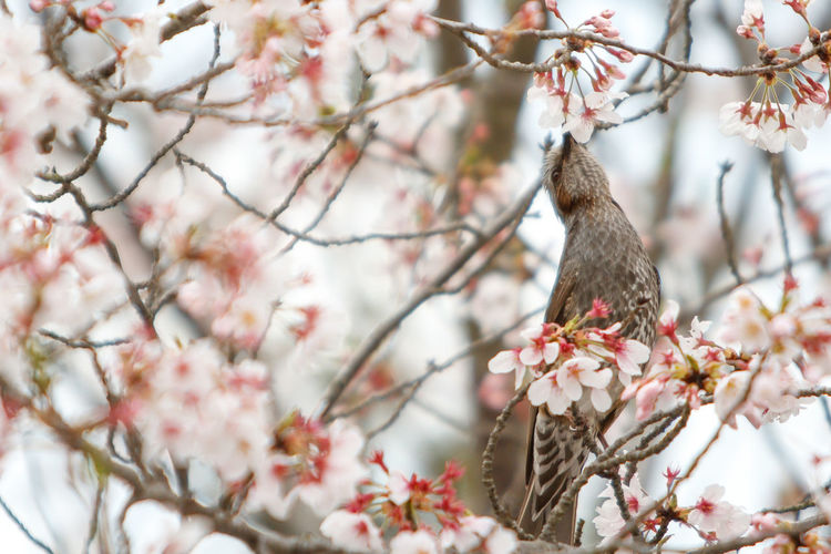 Low angle view of bird in cherry blossoms