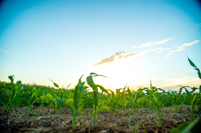 Agriculture Beauty In Nature Clear Sky Close-up Day Field Freshness Grass Green Color Growth Landscape Nature No People Outdoors Plant Rural Scene Scenics Sky Sorghum Sunlight Sunset Tranquil Scene Tranquility