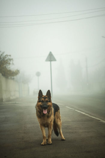 Animal Themes Dog Looking Away No People One Animal Outdoors Pets Road Street German Shepherd