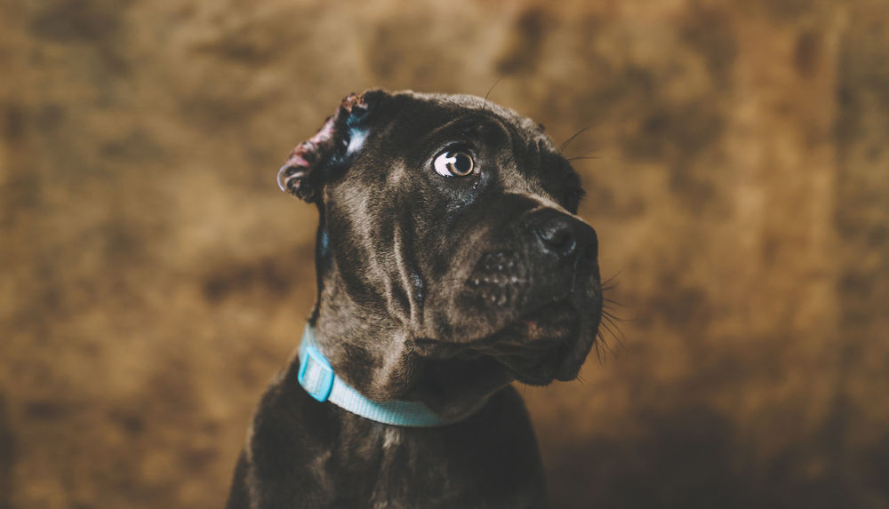 Animal Themes Cane Corso Close-up Cute Puppy Day Dog Domestic Animals Focus On Foreground Mammal No People One Animal Outdoors Pet Collar Pets