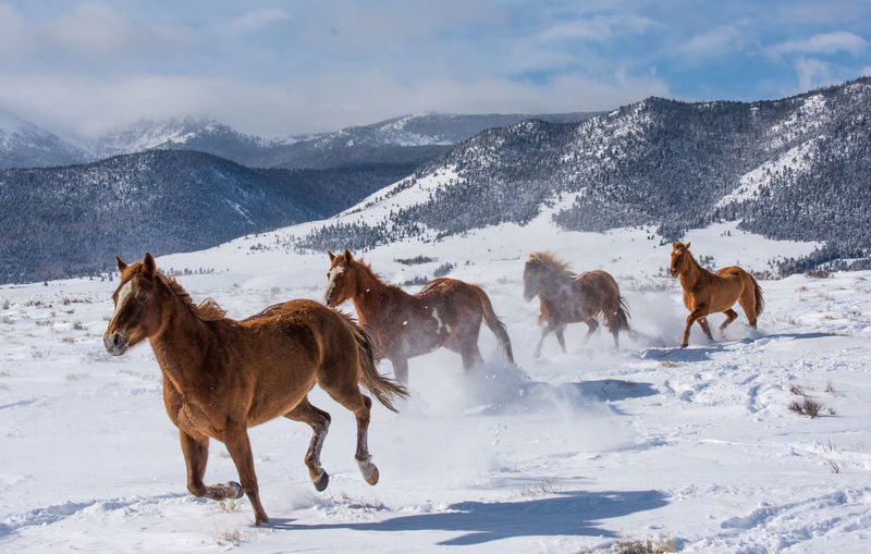 Feb 2019 - Music Mountain Ranch Colorado Ranch Life Snow Winter Cold Temperature Herd Of Horses Galopping Horse Animal Themes Animal Wildlife Domestic Animals Domestic Vertebrate Livestock Snowcapped Mountain Outdoors Nature No People Beauty In Nature Mountain Horse Group Of Animals Herbivorous Mammal Day Animal