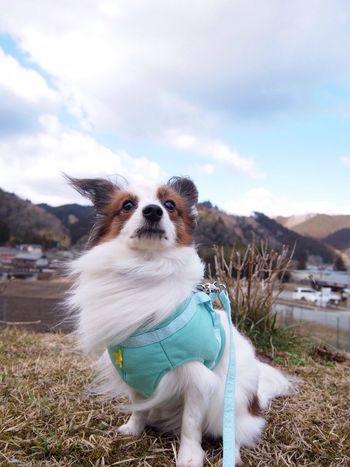 犬 Papillon Japan Misugi 美杉 Cute パピヨン