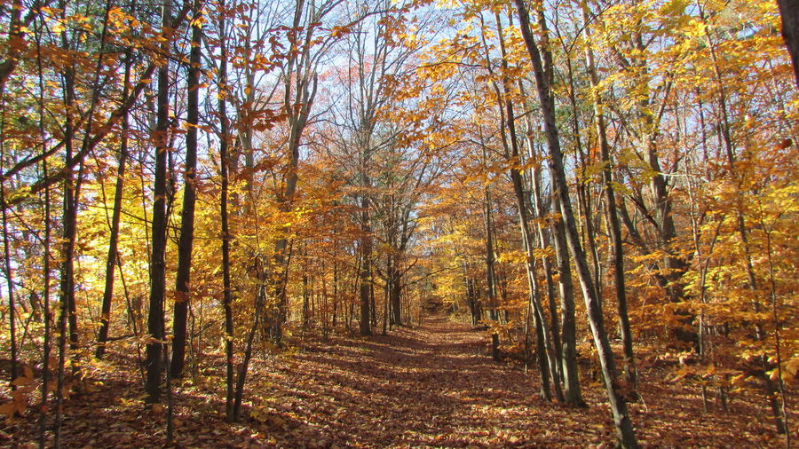 Out For A Walk Diggins Trail Beautiful View Fall Colors Alone... Still Some Colors Leftover Through The Woods Ground Covered With Leaves Bright SunshineCadillac Pure Michigan