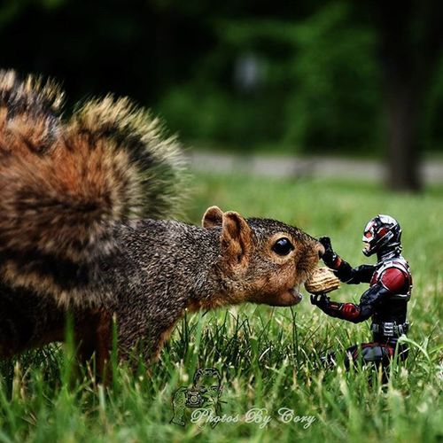 Boop! Funwiththesquirrels _tyton_ Wildlifephotography Wildlifepark Squirrel Squirrelsofinstagram Antman Avengers Antmanadventures ATA_MARVEL Anarchyalliance Squirrellife Squirrelfanclub Squirrelwhisperer Squirrelwatching Squirrelproblems Squirrelstagram Squirrelwatch Photooftheday  Instadaily Instanature Hereandnow Natureshots Natureseeker  Natures_hub natures_cuties animallover animal_captures wildlife_perfection toyslagram_best_2015