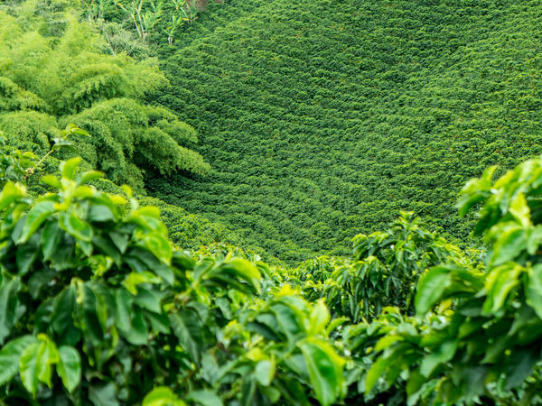 Agriculture Beauty In Nature Coffee Coffee Colom Coffee Field Coffee Plantation Coffee Plantations Coffee Tree Colombia Day Green Color Growth Jerico Nature No People Outdoors