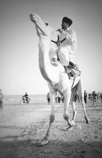 Sahara d'Algérie Algeria Béchar Sahara Sahara Of Algeria Dromadaire Tradition Folclore Guerba Elouata Childeren Animal Caravane  Touareg Amazigh Dunes Du Sable Festival Traditonal Festival Ereg Touareg Camel Racing Sand Summer Sand Dune Men Sky Working Animal Camel Domestic Animals Livestock