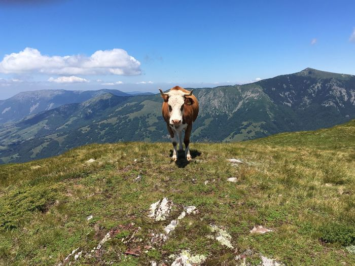 Cow standing on mountain against blue sky
