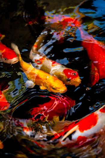 View of koi fish in sea