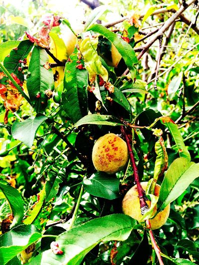 Melocotones 🍑 Peachtree Peach Tree Peach Blossom Peach Peaches Nature Fruit Garden Fruits Fruit Tree Fruits Natural Fruits Natural Peaches Nature's Diversities