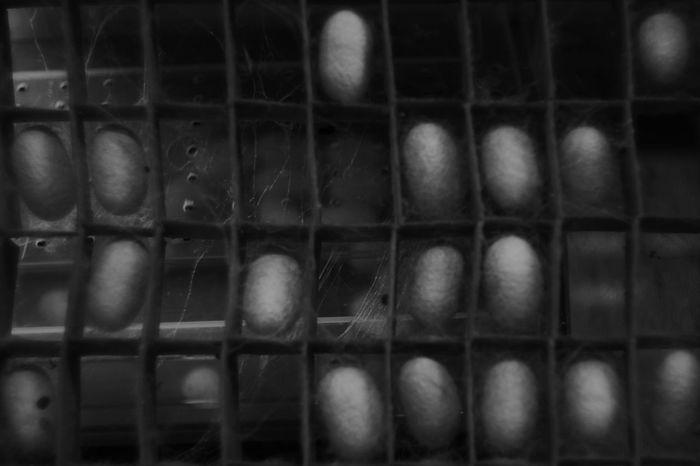 眠ル繭 Fujifilm X-Pro1 Black & White My Favorite Photo Leica Lens Japanese Photography Canon 35mm F1.8 L Black And White Collection  Black And White Eyem Best Shots - Black + White Black And White Photography Black&white EyeEm Best Shots - Black + White Bw Photography Japan Photography Nostalgia Eyeem Black And White Silkworm Silkworms Cocoons Cocoon Sleep Sleeps Japan Japanese  Moth