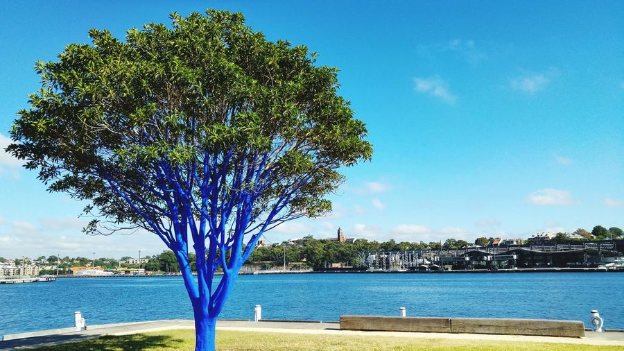 Pyrmont blue tree