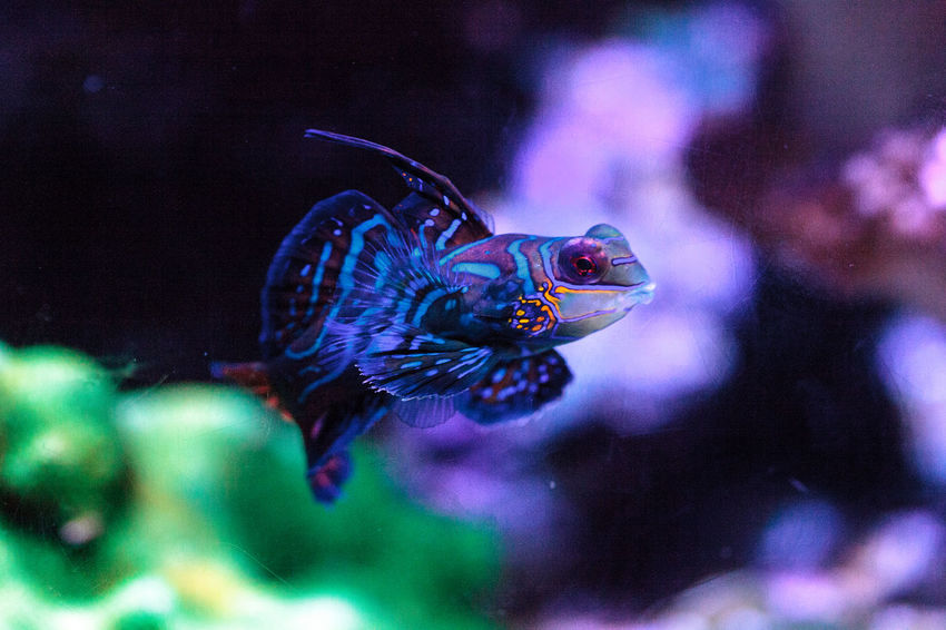 Mandarin goby is also called the Mandarin dragnet Synchiropus splandidus in a reef aquarium Animal Themes Animals In The Wild Close-up Fish Goby Mandarin Dragnet Mandarin Fish Mandarin Goby Marine Fish Nature No People One Animal Synchiropus Splandidus Tropical Fish