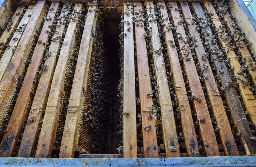Open bee hive. Plank with honeycomb in the hive. The bees crawl along the hive. Honey bee Animal Apiary Bee Beehive Beeswax Busy Cell Close-up Day Honey Honeycomb Industry Insect Nature No People Outdoors Pollinator Propolis Swarm