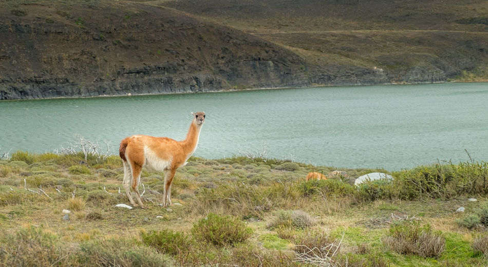 A lonely guanaco looking at camera near a lake in Torres del Paine National Park, Chile Animals In The Wild Looking At Camera Patagonia Chile TorresDelPaine Winter Animal Themes Animal Wildlife Animals In The Wild Field Fields Grass Guanaco Lake Landscape Llama Mammal Mountain Nature No People One Animal Outdoors Patagonia Scenics Torres Del Paine Water