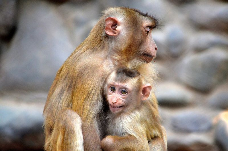 Close-up of monkey mother with baby