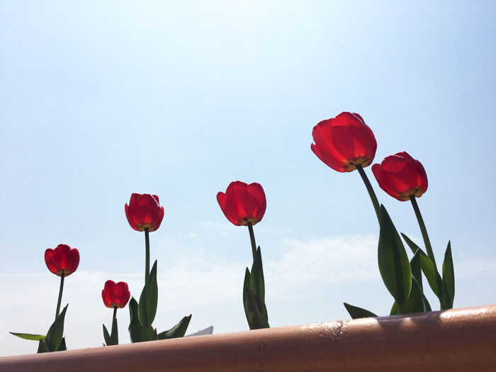 Red turips Beauty In Nature Close-up Flower Flower Head Freshness Growing Nature Red Red Tulips Sky