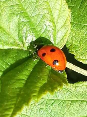 Nature Photography Nature_collection Natur божья коровка Natural Beauty Ladybug Collection Ladybug😊😊🐞🐞🐞 Ladybugs Photography