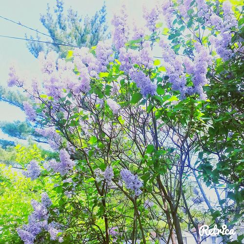 """Sorry i havent posted in a while! (Summer Vacation Trip) """"Although the colors of summer fade, other colors come with other seasons. Live in the now, enjoy what here now... Summer will be back again!"""" -Alice Zagrean Lavender Lavenderflower Lavender Tree"""