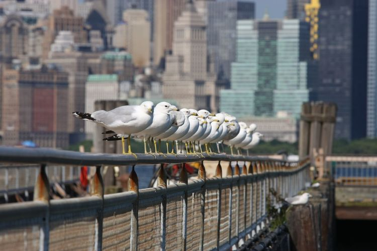 Seagulls in a