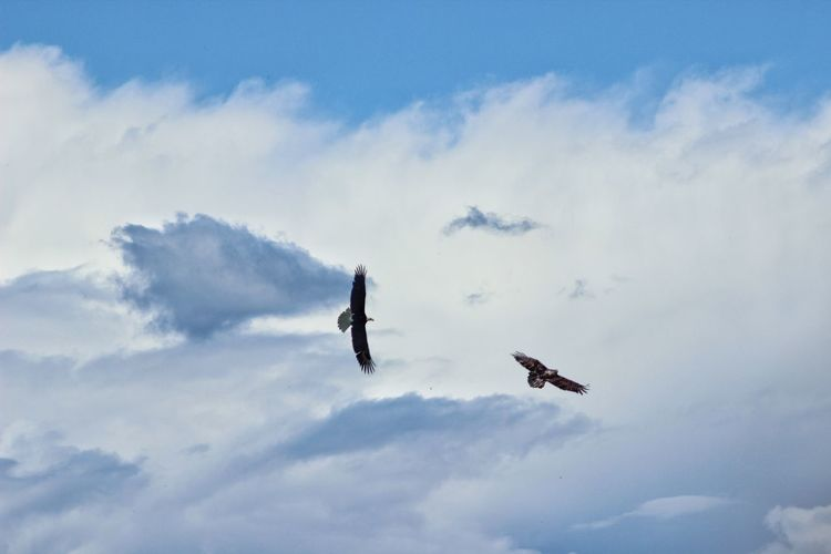 Low Angle View Of Eagles Flying Against Cloudy Sky