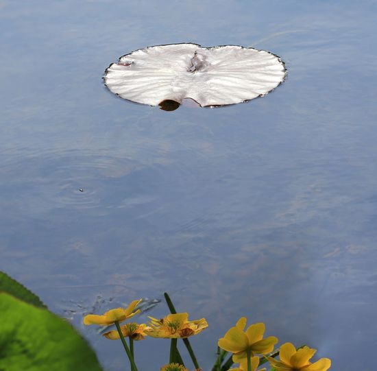 silver lily pad