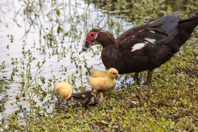 Mother and Baby Muscovy ducklings Cairina moschata flock together in a pond in Naples, Florida in summer. Baby Ducks Breeding Cairina Moschata Family Flock Of Birds Mother Muscovy Duck Pond Animal Animal Themes Animal Wildlife Animals In The Wild Babies Bird Birds Cute Duckling Florida Life Group Of Animals Muscovy Nature No People Spring Vertebrate Waterfowl