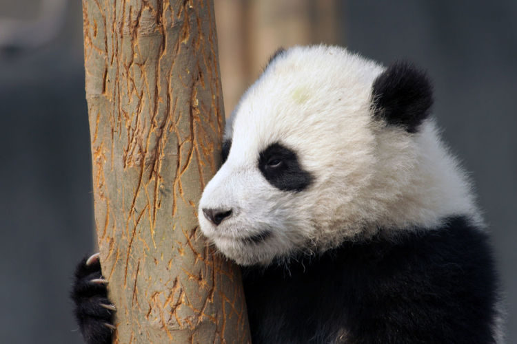 Close-up of giant panda by tree trunk