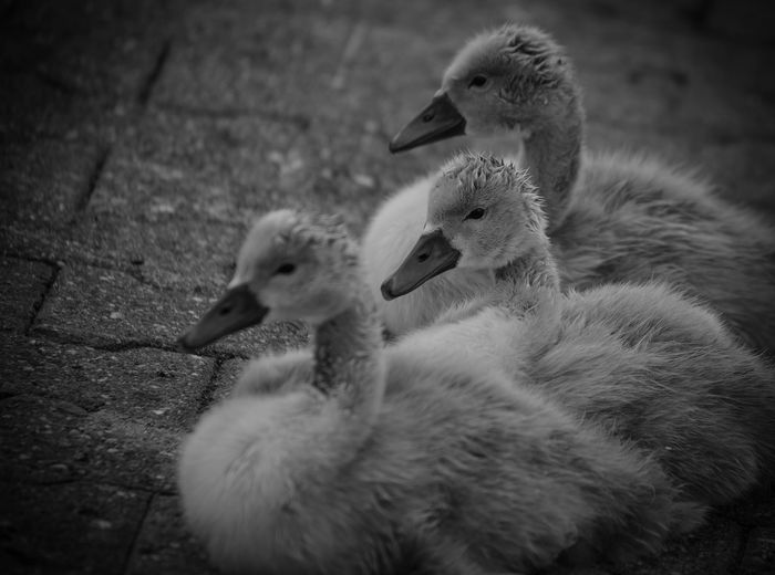 Animal Family Animal Themes Animals In The Wild Babyswans Bird Bnw Bnw_collection Day Nature No People Outdoors Swans Togetherness Young Animal Young Bird