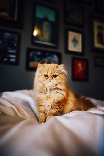 Portrait of persian cat on bed