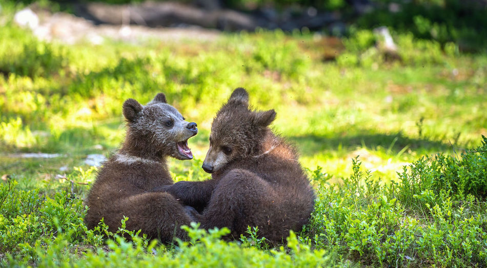 Young bears sitting by plants on land