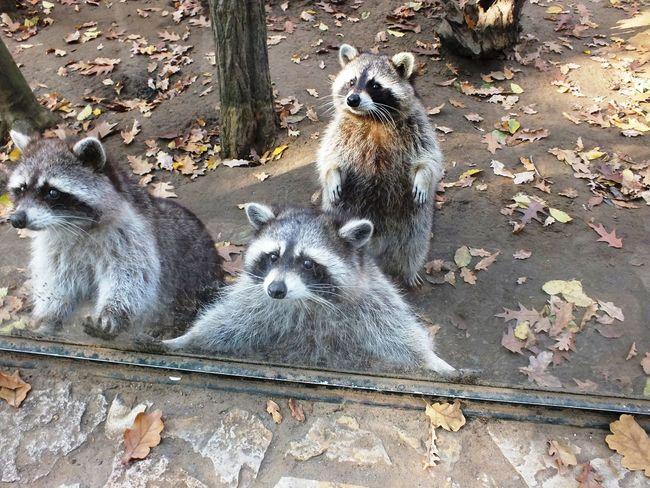 Animal Themes Close-up Day Mammal No People Nyiregyhaza Nyiregyhazazoo Outdoors Raccoon Zoo
