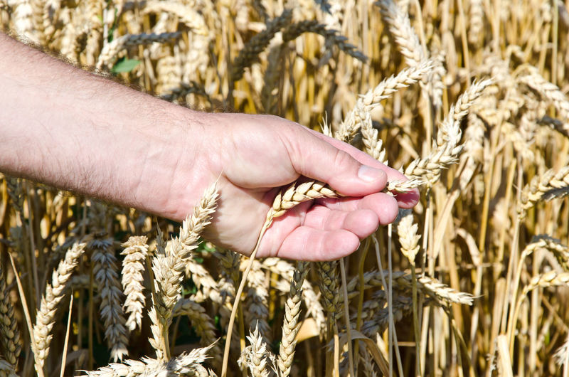 Close-up of hand touching wheat plants