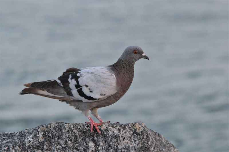 Close-up of pigeon perching on rock