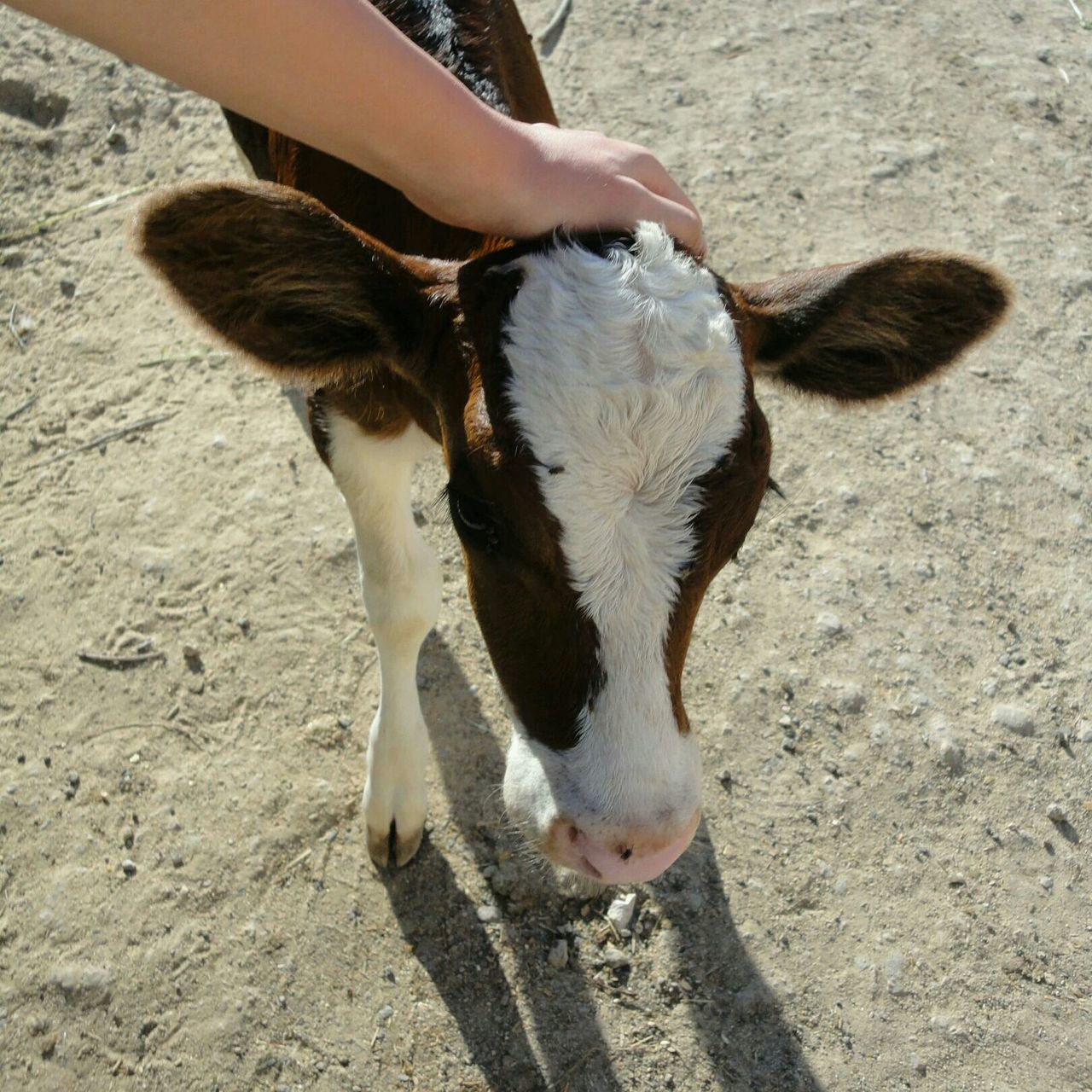 High angle view of hand touching calf on field