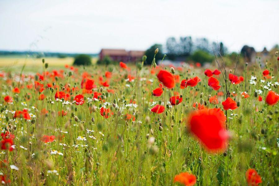 Summer Fields in Heda Östergötland