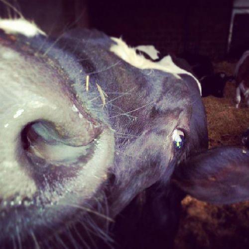 Dipshit Cow Bull My Boy