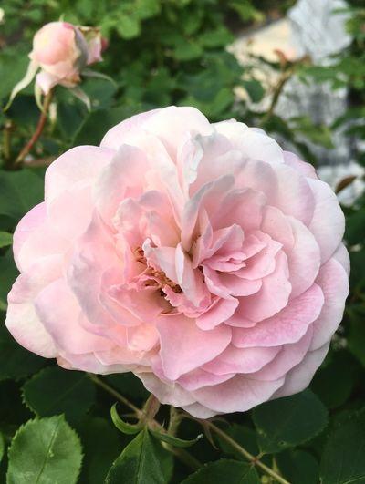 tender Rose Geschwind Historische Rose Rosé Flower Growth Beauty In Nature Petal Close-up Fragility Flower Head Nature No People