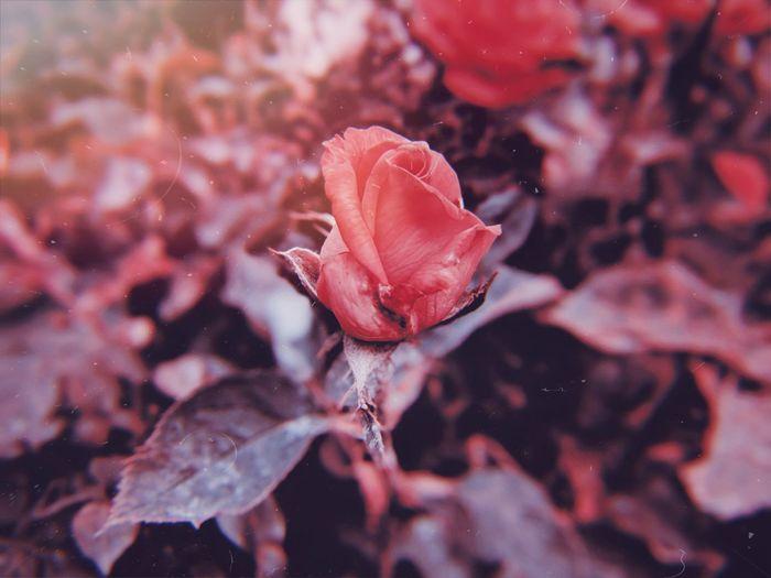 Mobilephotography Google Pixel 2 XL Rosé Close-up Plant Botany Blossom