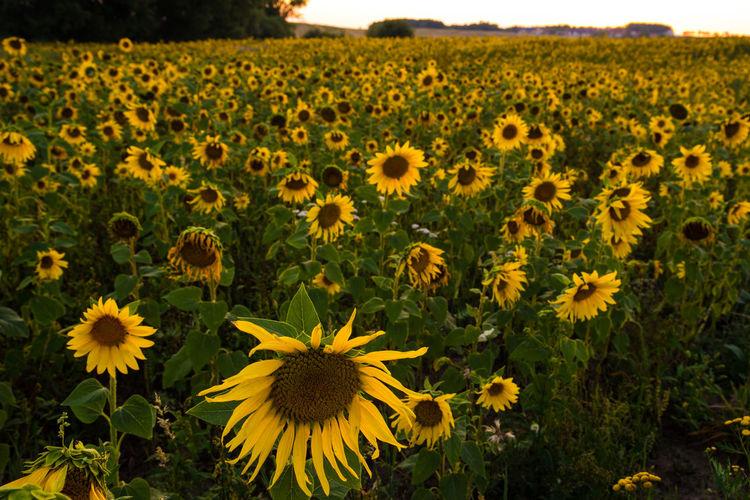 EyeEm Nature Lover EyeEm Gallery Holidays Nature Photography Sunflower Eye Flowers Nature_collection Naturelovers Sunflowers🌻
