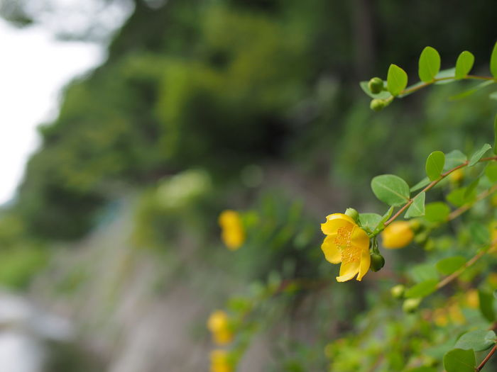 Plant Growth Flower Flowering Plant Beauty In Nature Vulnerability  Close-up Freshness Fragility Focus On Foreground Yellow Nature Day Plant Part Leaf No People Selective Focus Petal Green Color Outdoors Flower Head Olympus Olympus OM-D EM-1 Nokton25mmF0.95 Saga Japan