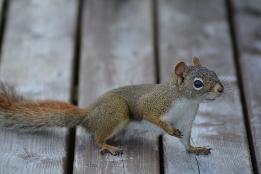 Nature Day Squirrel Close-up No People EyeEm Nature Lover Animals In The Wild Animal Themes EyeEmNewHere Be.Ready