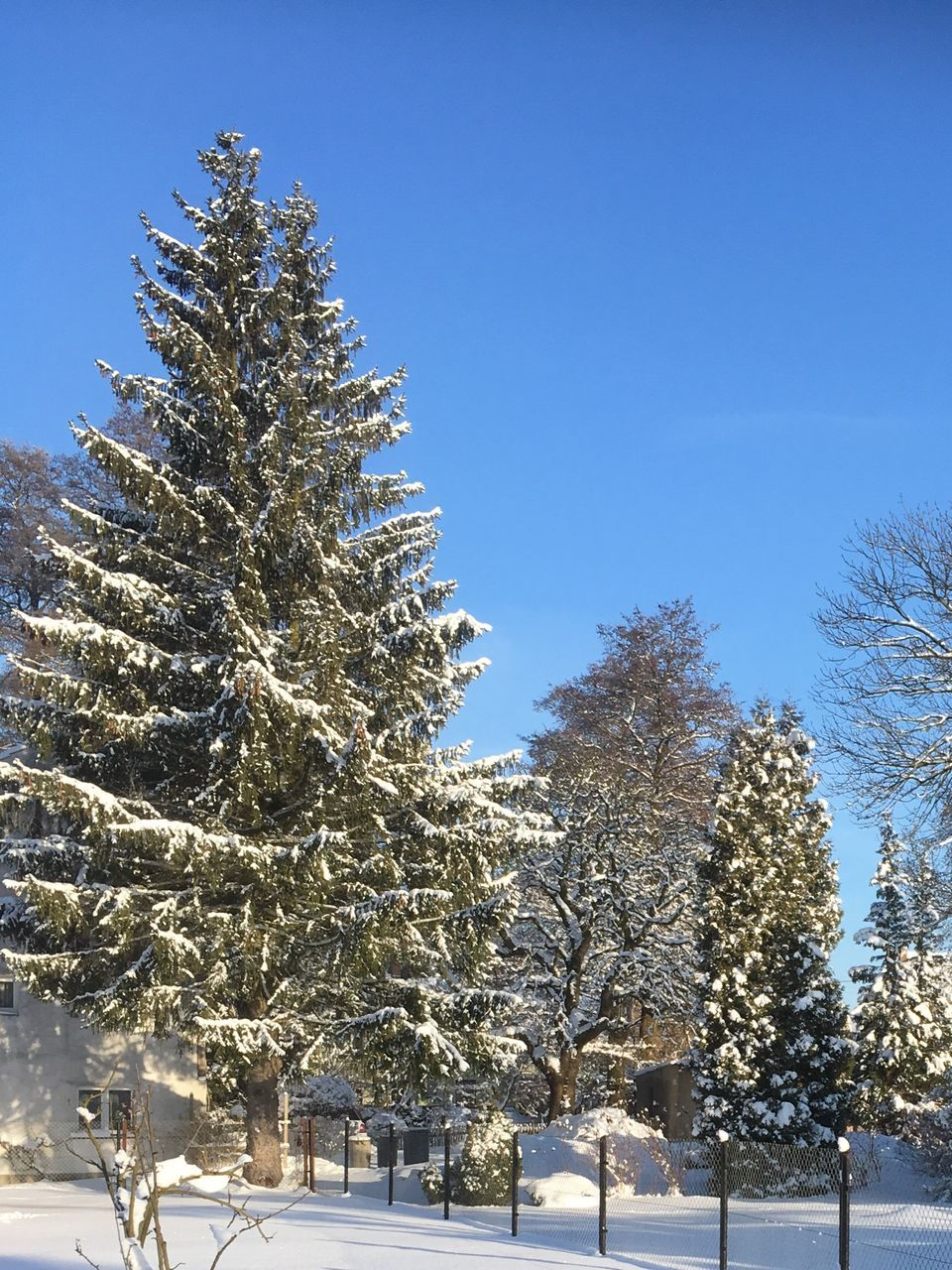 tree, snow, winter, cold temperature, nature, beauty in nature, no people, clear sky, outdoors, branch, day, christmas, tranquility, growth, scenics, close-up, sky