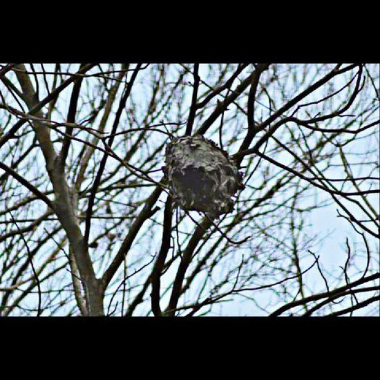 Hornetsnest Treeshunter Igers_of_wv Wv_igers bestnatureshot_tree westvirginia naturehippys