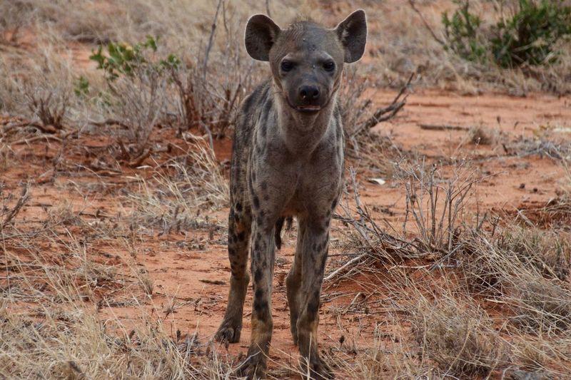 Animals In The Wild Safari Animals Hyena