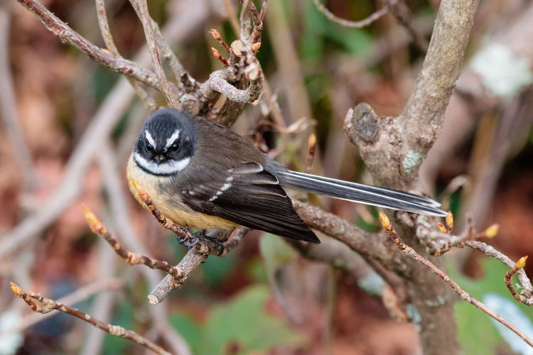 The New Zealand fantail (Rhipidura fuliginosa) is a small insectivorous bird, the only species of fantail in New Zealand. It has four subspecies: R. f. fuliginosa in the South Island, R. f. placabilis in the North Island, R. f. penita in the Chatham Islands, and the now-extinct R. f. cervina formerly on Lord Howe Island. https://en.wikipedia.org/wiki/New_Zealand_fantail Animal Wildlife Branch Bird Perching Tree Close-up Twig Fantail Bird Nature EyeEm Nature Lover