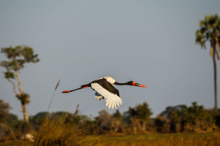 Botswana Africa Animal Animals In The Wild Bird Flying Spread Wings Stork