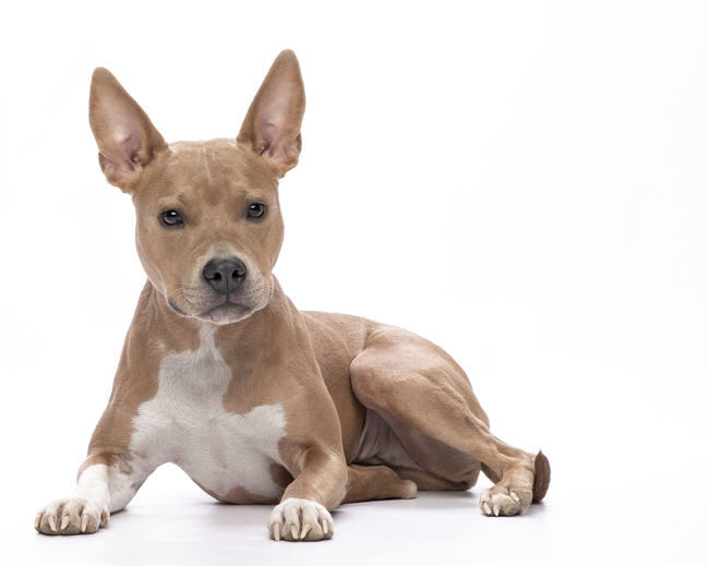Animal Animal Themes Brown Canine Cut Out Dog Domestic Domestic Animals Indoors  Isolated Looking At Camera Mammal No People One Animal Pets Portrait Relaxation Sitting Studio Shot Vertebrate White Background