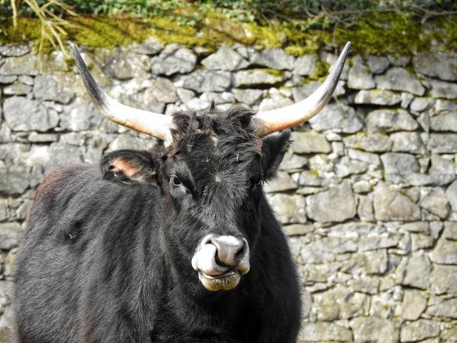 Auerochse Bull Horns Nature Nikon P900 Oxford Wildlife & Nature Wildlife Photography Aurochs Big Bull Black Black Bull Nose Nosepicker