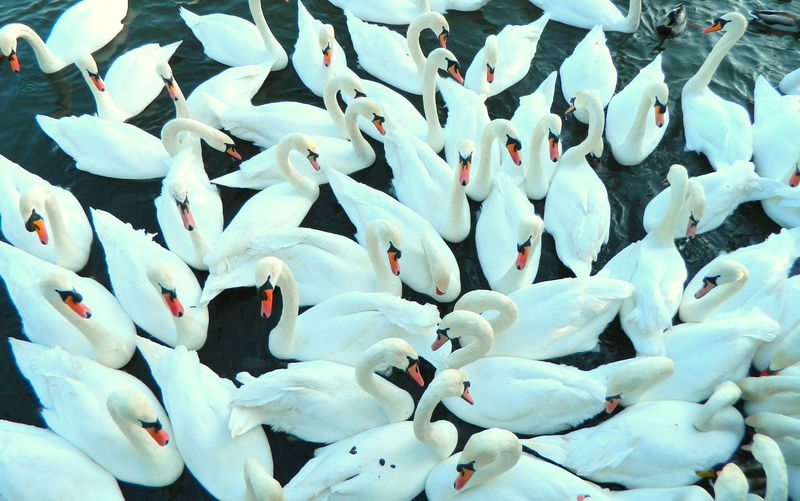 Full frame shot of swans