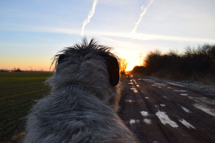 Tree Animal Themes One Animal Ways Through The World Outdoors Road Wintertime Winter 2017 February 2017 How Is The Weather Today? Dogslife Cearnaigh Irish Wolfhound Dogs Of EyeEm Dogs Of Winter Dogwalk Animal Head  Dog Tranquility Sunlight Sunbeam Sun Beauty In Nature Sunset